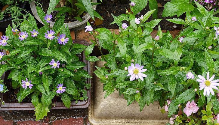 濃いめの紫のミヤコワスレ(ノシュンギク)の花が咲いた。2015年-2.jpg