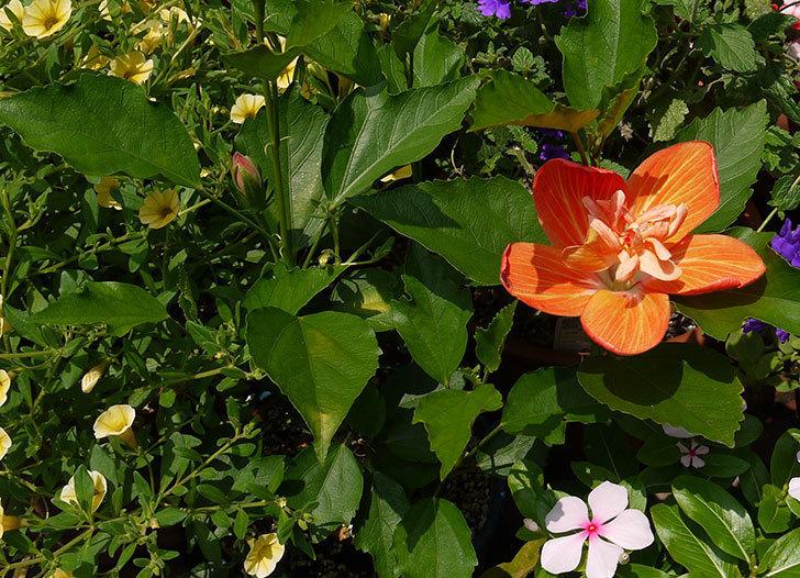 濃いオレンジのハイビスカスが咲いた。2015年-4.jpg