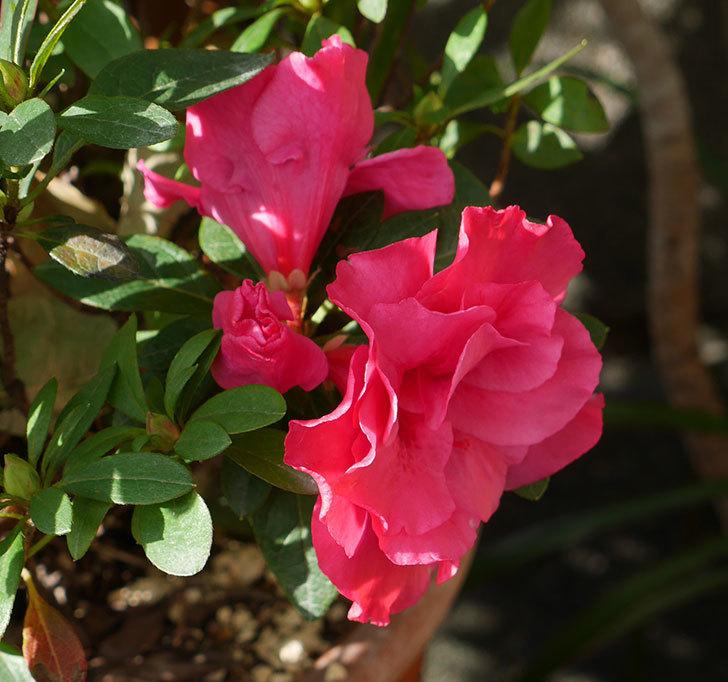 濃いピンクのアザレアが咲いた。2017年-3.jpg