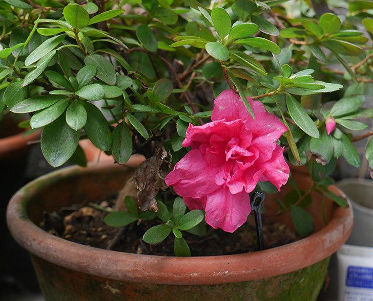 濃いピンクのアザレアが咲いた。2019年-1.jpg