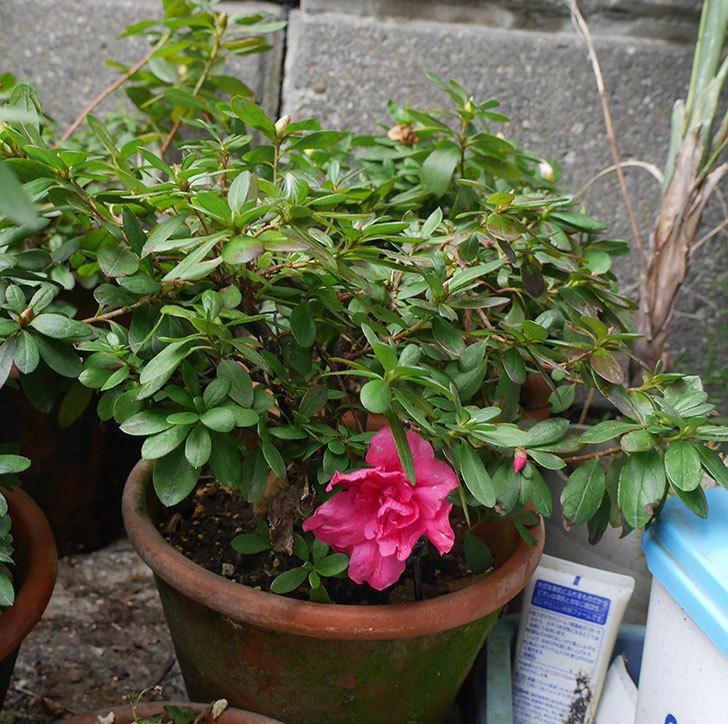濃いピンクのアザレアが咲いた。2019年-2.jpg
