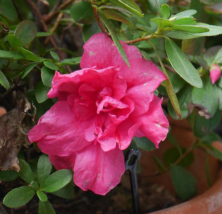濃いピンクのアザレアが咲いた。2019年-3.jpg