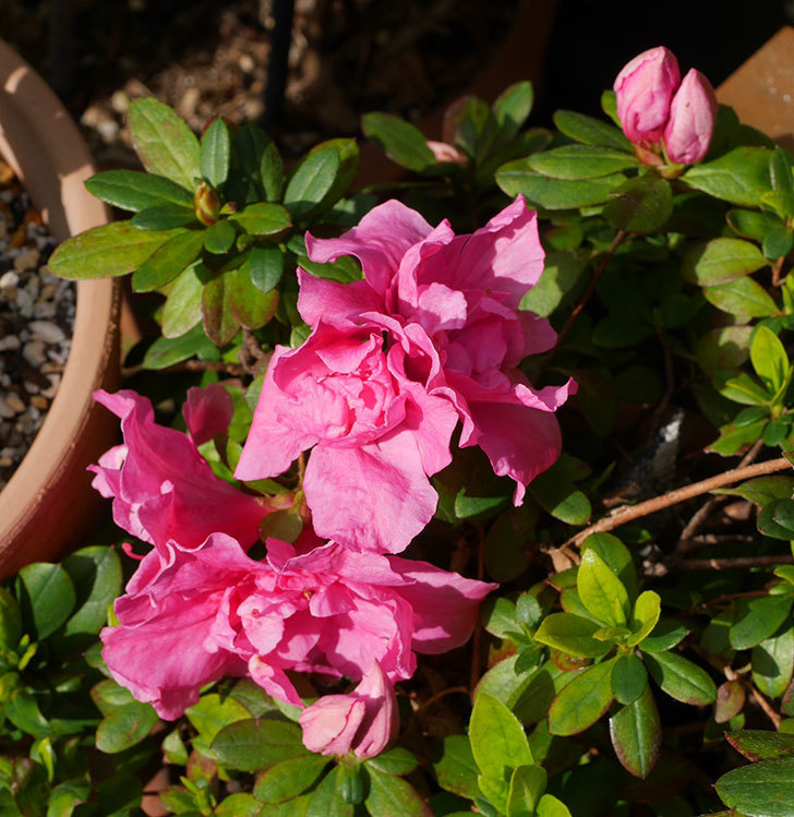濃いピンクのアザレアが咲いた。2020年-1.jpg