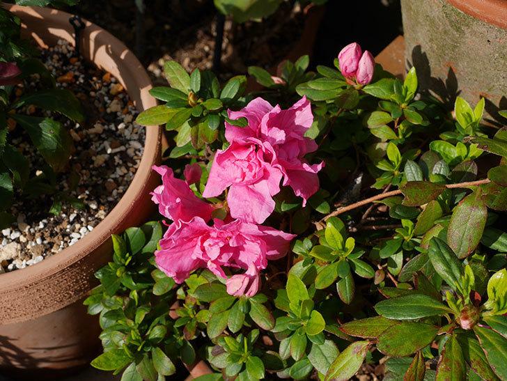 濃いピンクのアザレアが咲いた。2020年-2.jpg