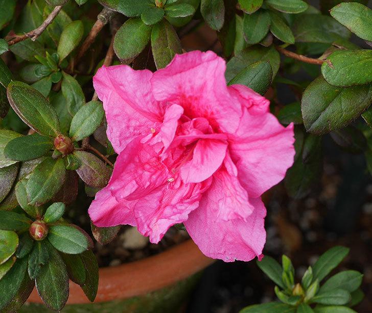 濃いピンクのアザレアが咲いた。2020年-3.jpg