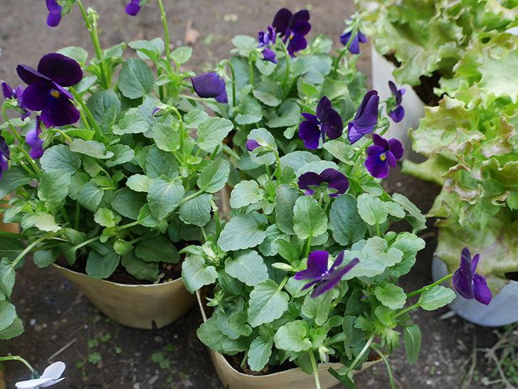 濃い紫のビオラの苗を3個ホームズで買って来た。2018年-2.jpg