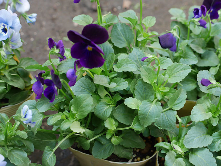 濃い紫のビオラの苗を3個ホームズで買って来た。2018年-3.jpg