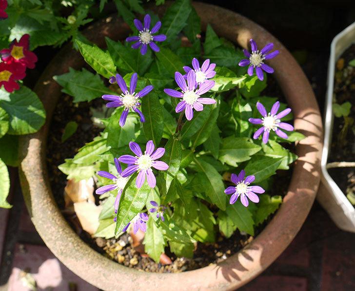 濃い紫のミヤコワスレ(ノシュンギク)の花が咲いた。2016年-1.jpg