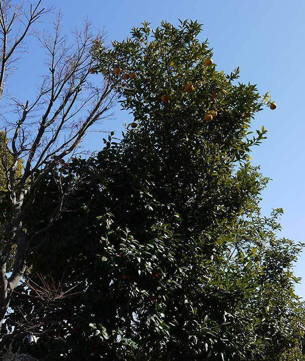 甘夏の収穫と剪定をした。2015-3.jpg