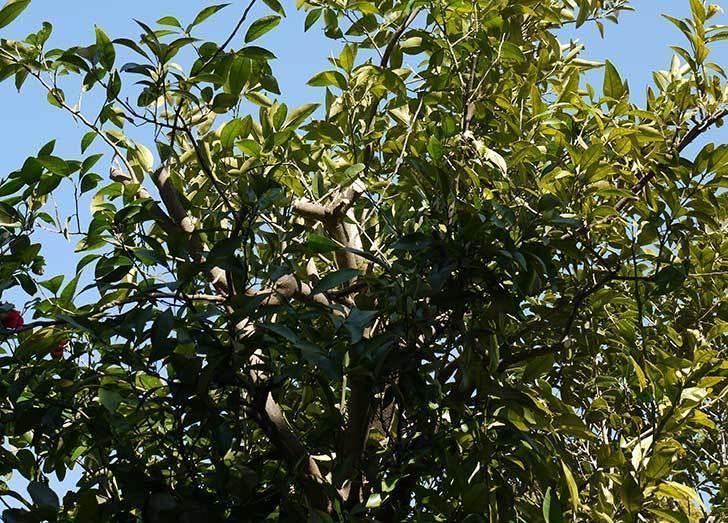 甘夏の収穫と剪定をした。2015-5.jpg