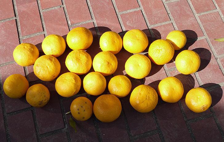 甘夏の収穫と剪定をした。2015-8.jpg