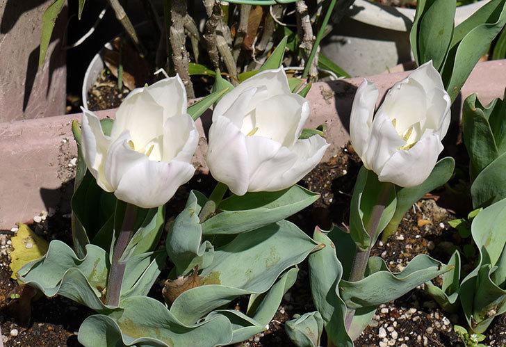 白いのチューリップが咲いた1.jpg