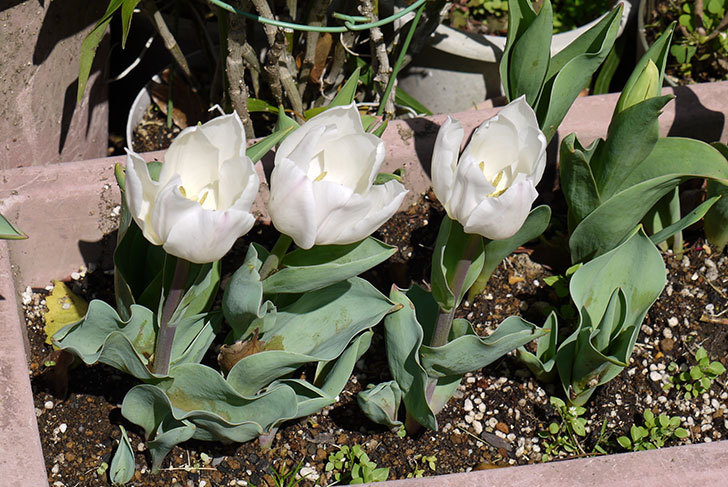 白いのチューリップが咲いた2.jpg