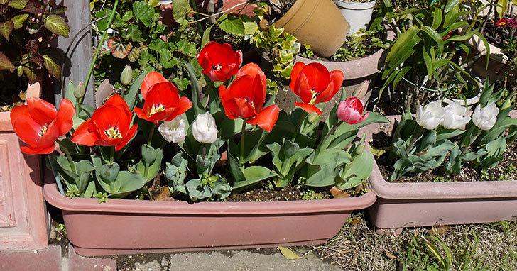 白いのチューリップが咲いた4.jpg