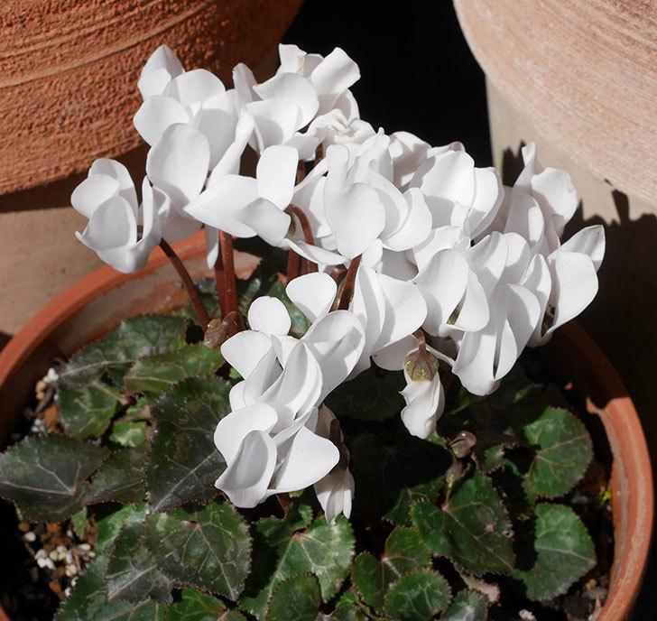 白いガーデンシクラメンが綺麗に咲いた。2020年-4.jpg