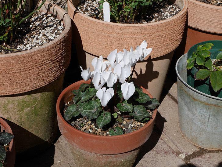 白いガーデンシクラメンが綺麗に咲いた。2020年-5.jpg