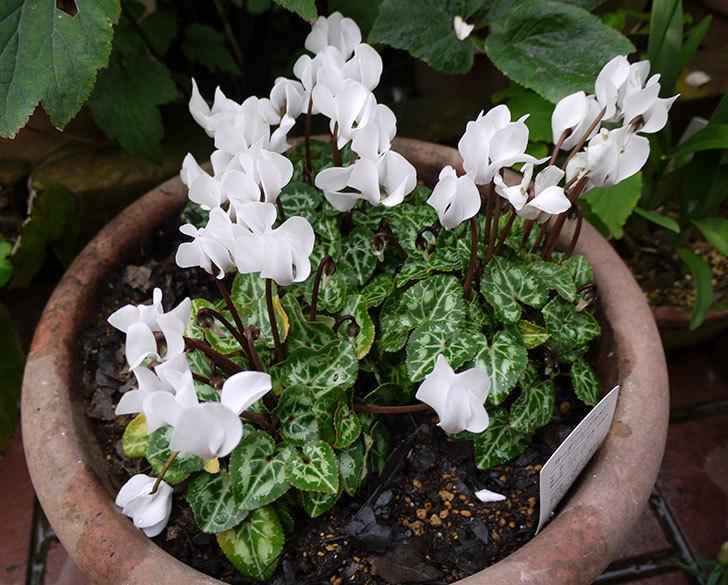 白いガーデンシクラメンを鉢に植えた1.jpg