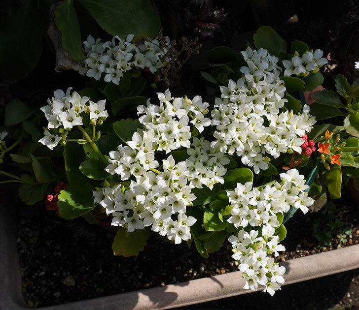 白いクイーン・カランコエが咲いた。2019年-1.jpg