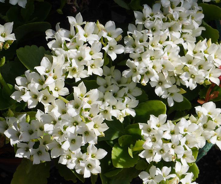 白いクイーン・カランコエが咲いた。2019年-2.jpg