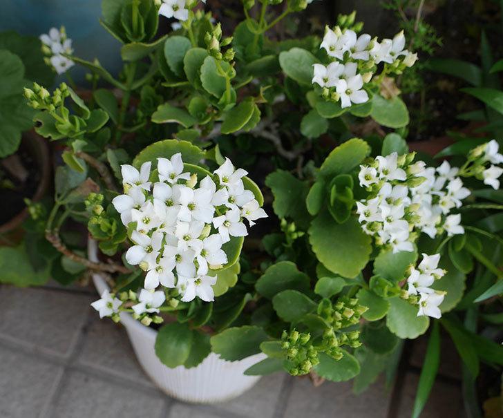 白いクイーン・カランコエが咲いた。2019年-3.jpg