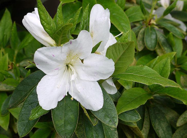 白いサツキが咲いた。2016年-1.jpg
