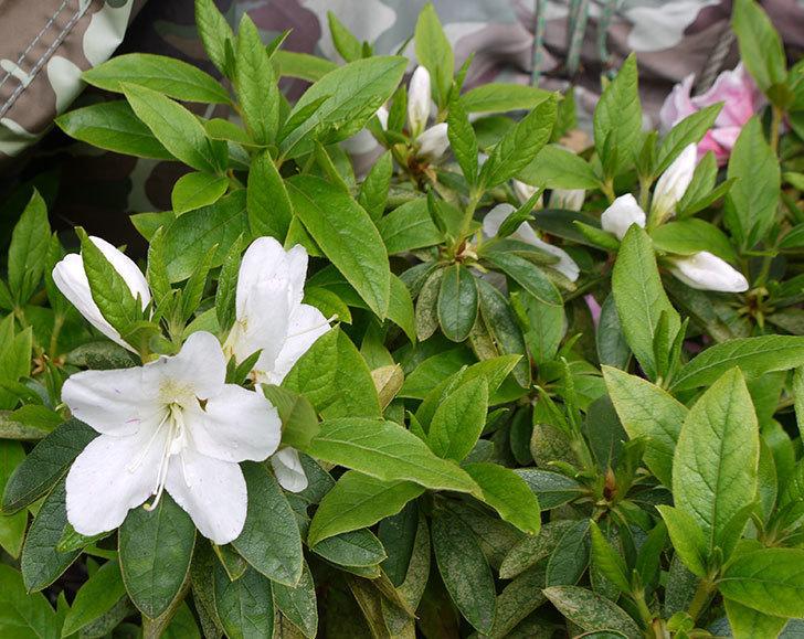 白いサツキが咲いた。2016年-2.jpg