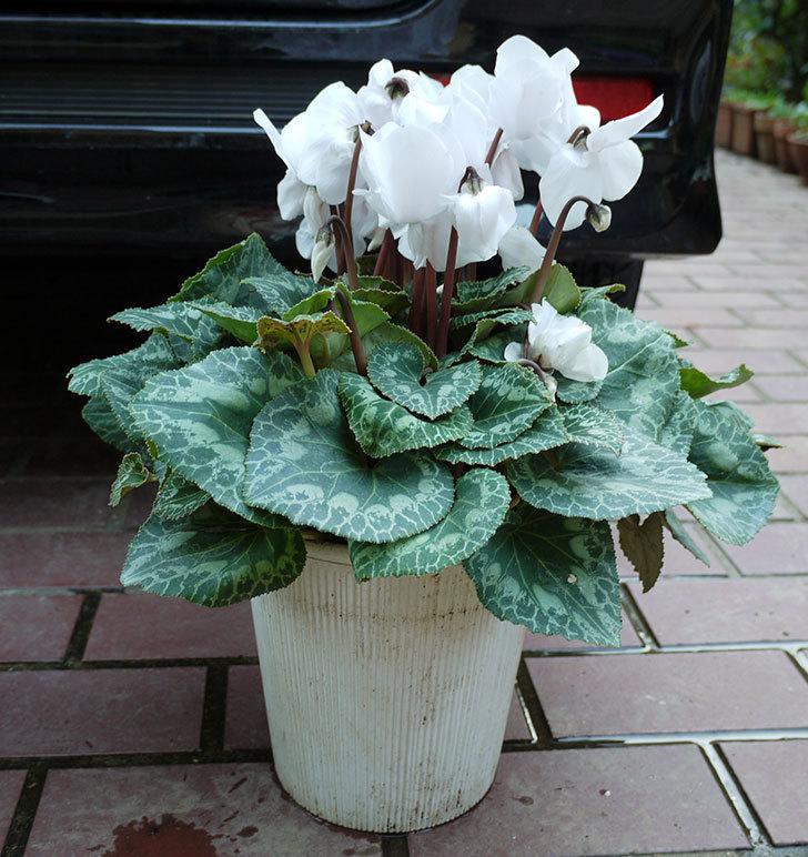 白いシクラメンを一回り大きい鉢に植え替えた。2016年-1.jpg