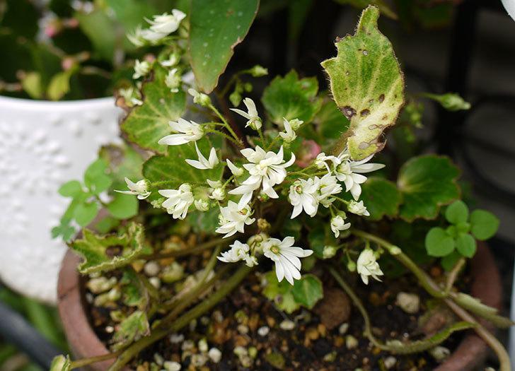 白いダイモンジソウ(大文字草)の花が咲いた。2015年-1.jpg