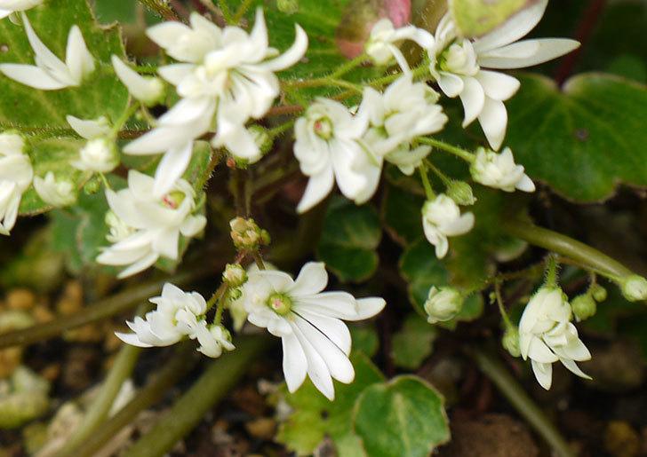 白いダイモンジソウ(大文字草)の花が咲いた。2015年-2.jpg