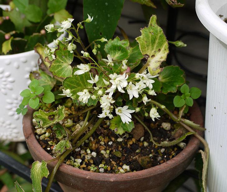 白いダイモンジソウ(大文字草)の花が咲いた。2015年-3.jpg