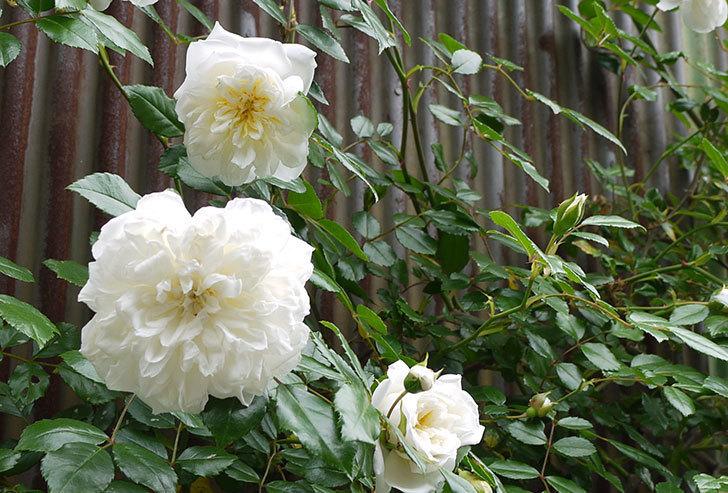 白いツルバラの花がたくさん咲いた。2015年-3.jpg