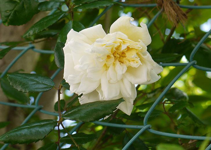 白いツルバラの花が咲いた1.jpg
