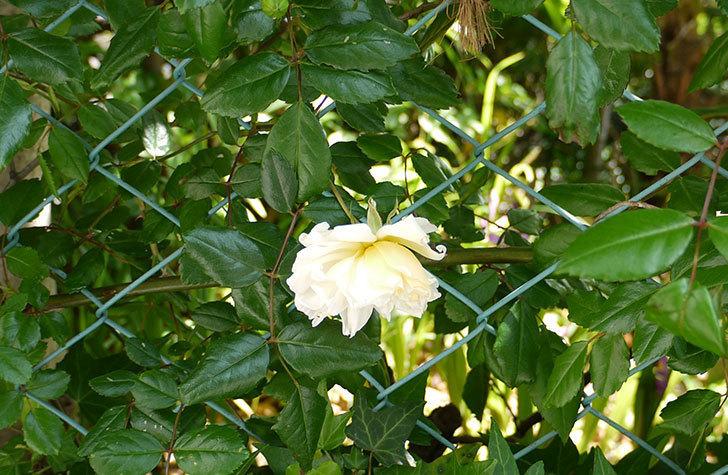 白いツルバラの花が咲いた2.jpg