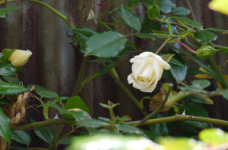 白いツルバラの花が咲いた3.jpg