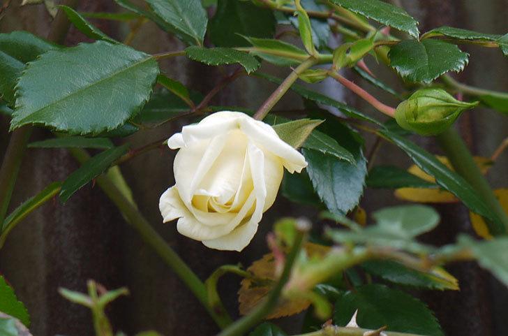 白いツルバラの花が咲いた4.jpg