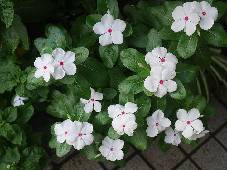 白いニチニチソウ(日々草)の花がたくさん咲いた。2018年-1.jpg