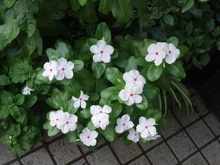 白いニチニチソウ(日々草)の花がたくさん咲いた。2018年-2.jpg