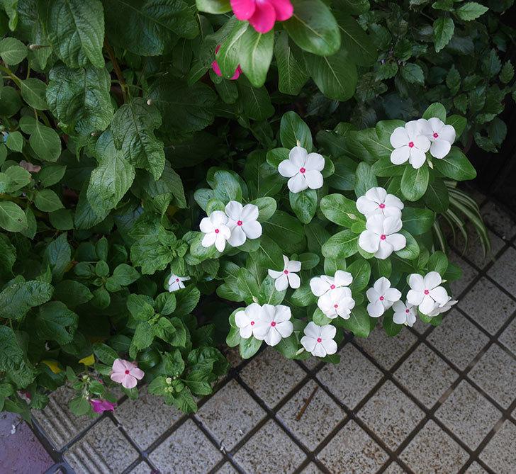 白いニチニチソウ(日々草)の花がたくさん咲いた。2018年-3.jpg