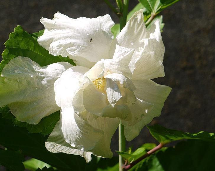 白いハイビスカスがひさびさに咲いた。2016年-4.jpg