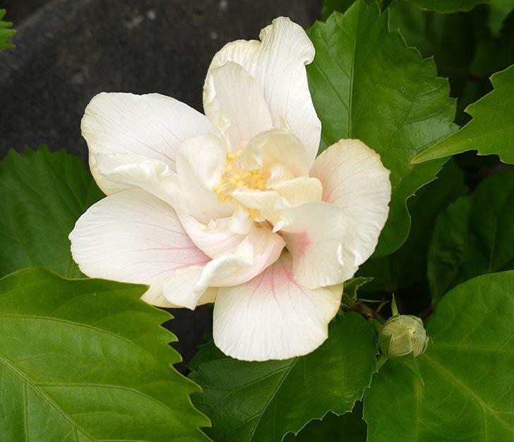 白いハイビスカスが久しぶりに咲いた。2016年-1.jpg