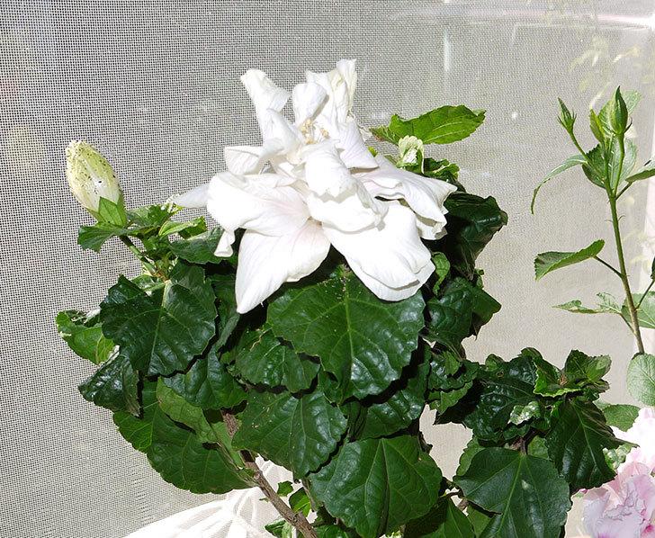 白いハイビスカスが咲いた1.jpg
