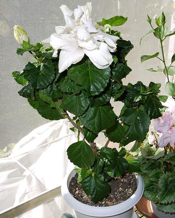 白いハイビスカスが咲いた2.jpg
