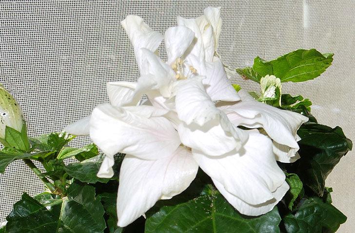 白いハイビスカスが咲いた3.jpg