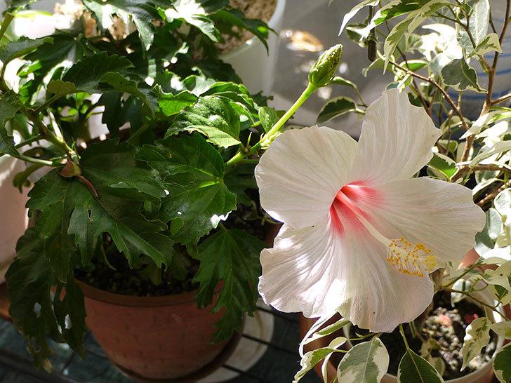 白いハイビスカスが咲いた6.jpg