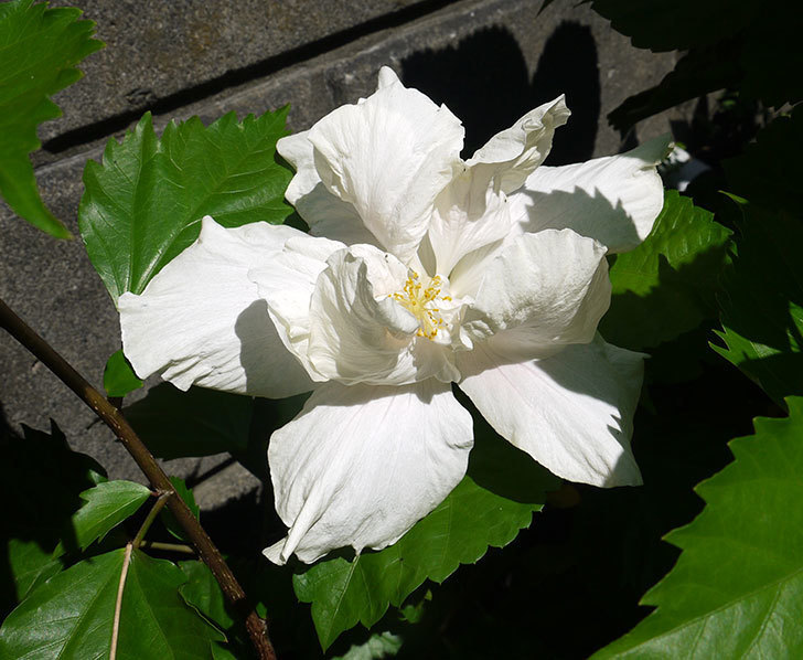 白いハイビスカスが咲いた。2016年-1.jpg