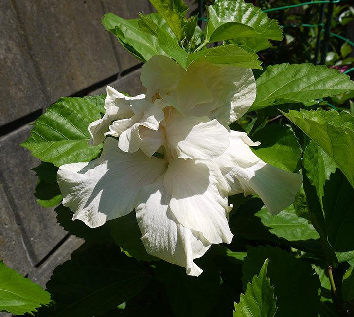 白いハイビスカスが咲いた。2016年-2.jpg