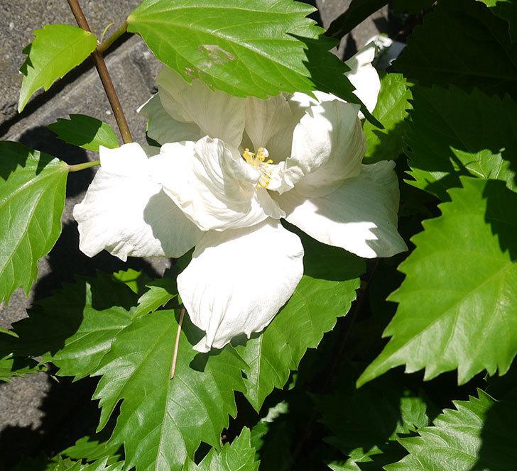 白いハイビスカスが咲いた。2016年-4.jpg