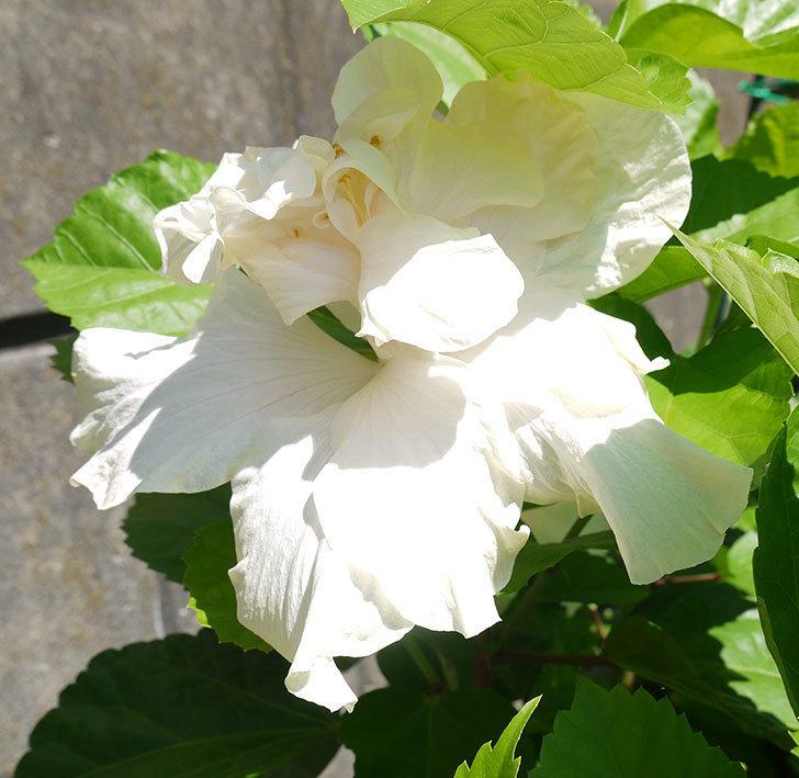 白いハイビスカスが咲いた。2016年-5.jpg