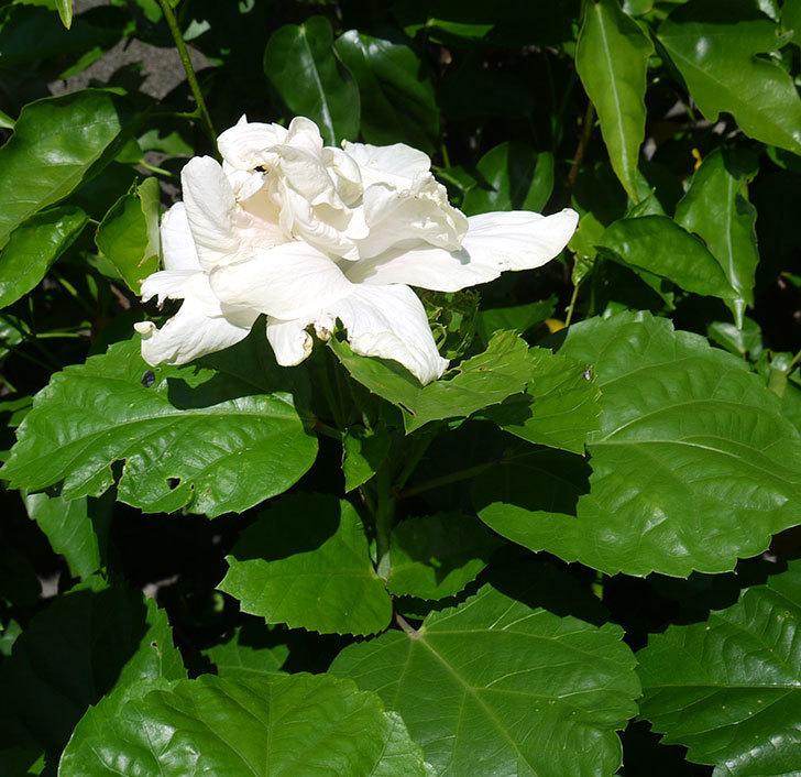 白いハイビスカスに今年最初の花が咲いた。2017年-3.jpg