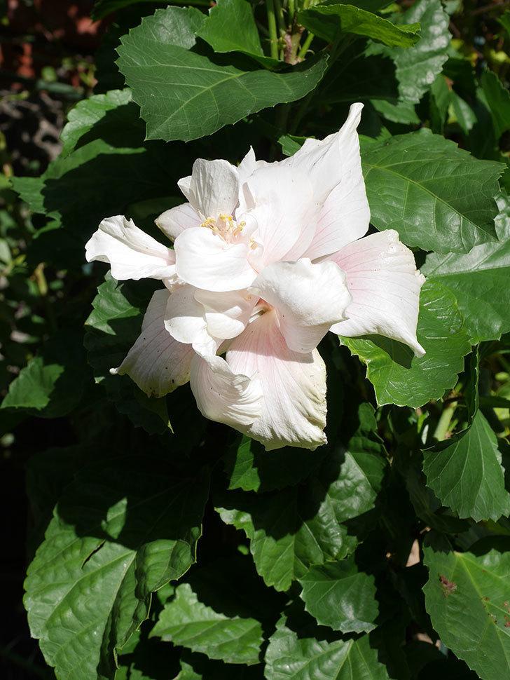 白いハイビスカスに大きい花が咲いた。2020年-004.jpg